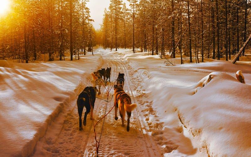 Chelouette de Husky dans le réflexe de Finlande en Laponie photo stock