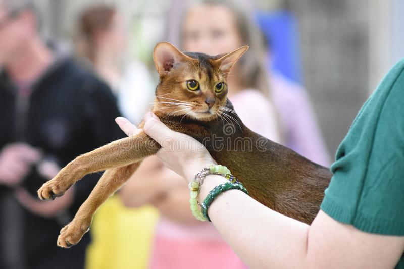 Chelyabinsk, Ρωσική Ομοσπονδία - 8 Σεπτεμβρίου 2018 Κλασικό άγριο χρώμα γατών Abyssinian η έκθεση των γατών στοκ φωτογραφίες