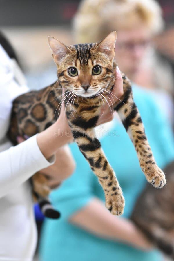 Chelyabinsk, Federa??o Russa - 8 de setembro de 2018 Cor manchada marrom do gato malhado do gato de Bengal na exposi??o dos gatos foto de stock