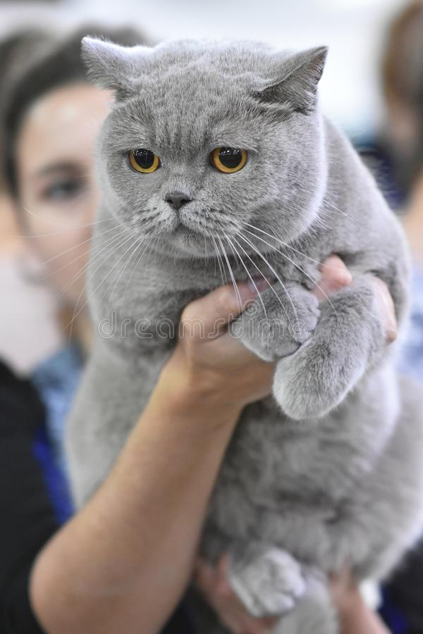 Chelyabinsk, federacja rosyjska - 08 2018 Wrzesie? Brytyjskiego trakenu kota b??kitny kolor w wystawie koty obraz royalty free