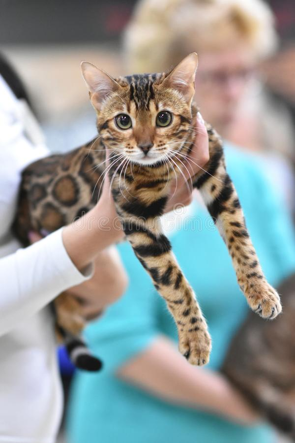 Chelyabinsk, Russian Federation - 08 September 2018. Bengal cat brown spotted tabby color in the exhibition of cats. Chelyabinsk, Russian Federation - 08 stock photo