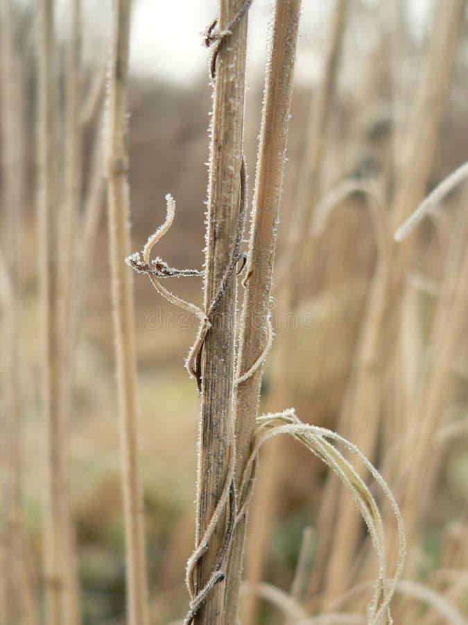 Cheminées d'herbe de l'hiver photo libre de droits