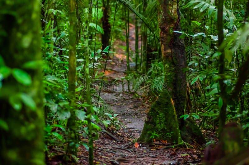 Chemin à l'intérieur de la forêt tropicale d'Amazone, entourage de la végétation dense en parc national de Cuyabeno, l'Amérique d photographie stock libre de droits
