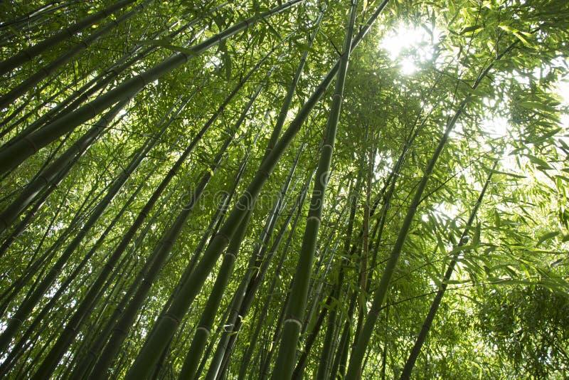 Chemin à la forêt en bambou images libres de droits