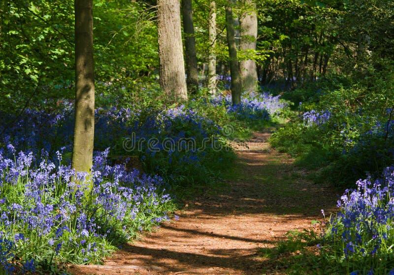 Chemin à travers des bois de bluebell photo libre de droits