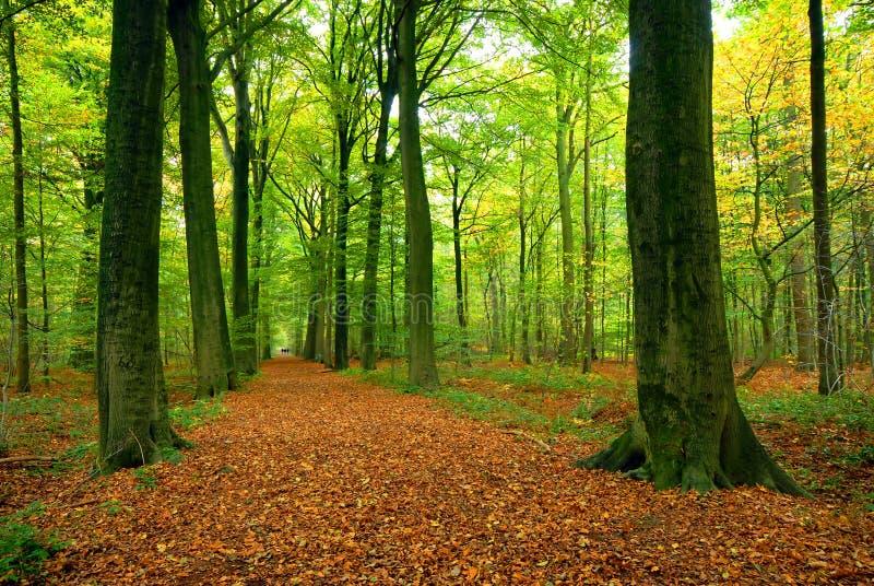 Chemin à travers la forêt abondante image libre de droits