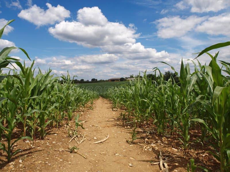 Chemin à travers la zone de maïs photo libre de droits
