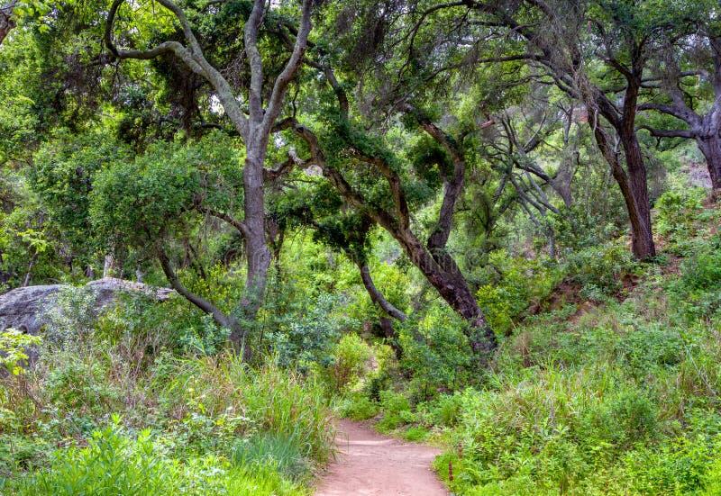 Chemin boisé au printemps avec l'auvent de Live Oak photos libres de droits