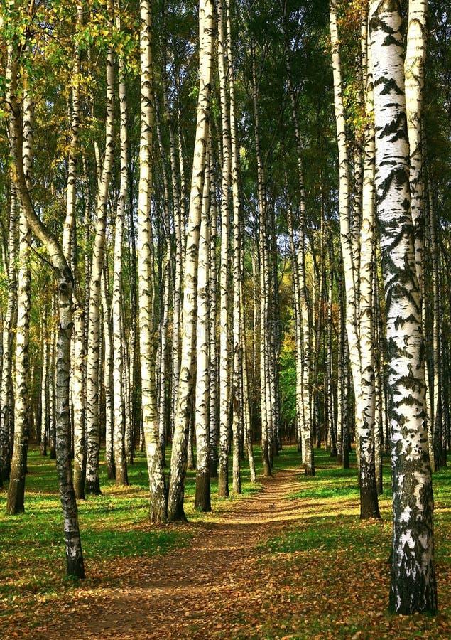 Chemin d'automne dans un verger de bouleau avec les lumières ensoleillées photo libre de droits