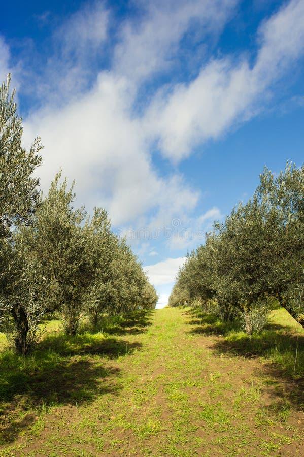 Chemin dans le vignoble italien photographie stock