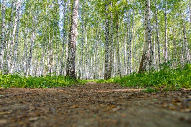 Download Chemin De Marche Dans Le Verger De Bouleau Photo stock - Image du footpath, beauté: 76076142