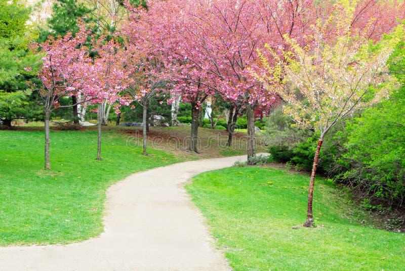 Chemin de passage couvert avec des cerisiers en fleur image stock