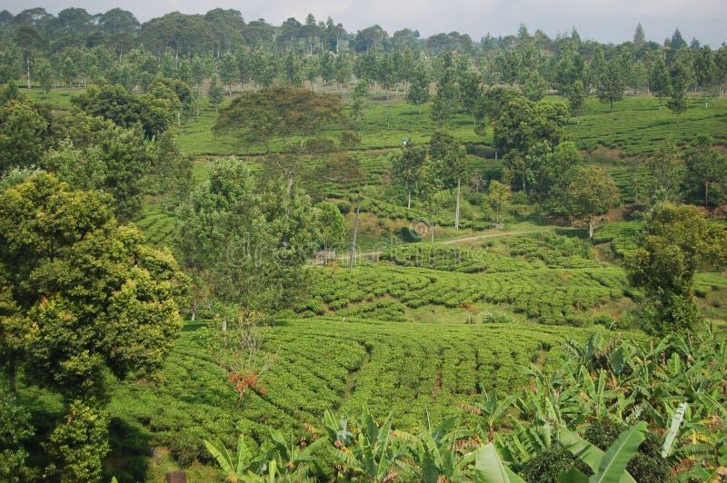 Chemin de promenade de thé image libre de droits