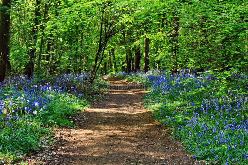 Chemin de saleté de soleil à travers le non-scripta en bois de Hyacinthoides de jacinthe des bois de Badby image stock