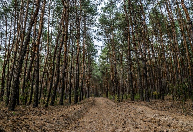 Chemin de terre dans la forêt de pin d'automne photographie stock libre de droits