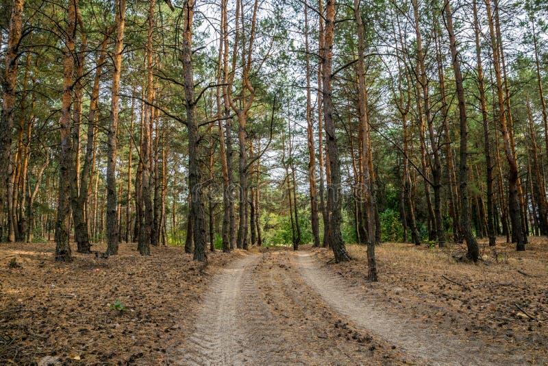 Chemin de terre dans la forêt de pin d'automne photos stock