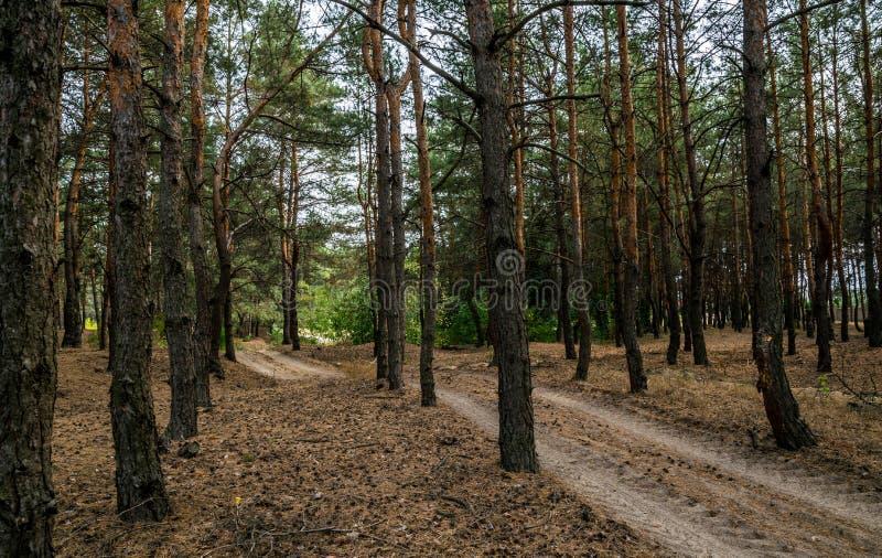 Chemin de terre dans la forêt de pin d'automne photo stock