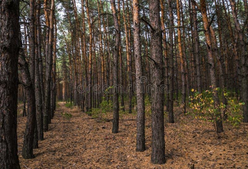 Chemin de terre dans la forêt de pin d'automne photo libre de droits