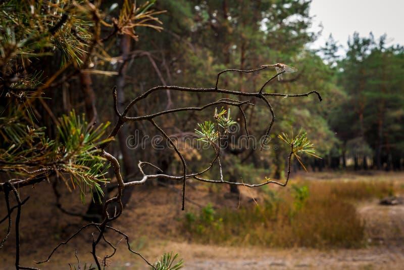 Chemin de terre dans la forêt de pin d'automne images stock