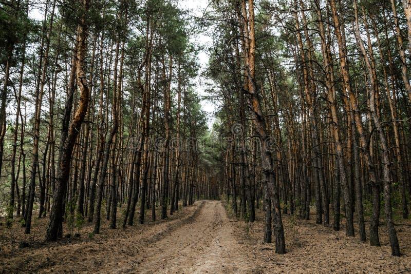 Chemin de terre dans la forêt de pin d'automne photographie stock
