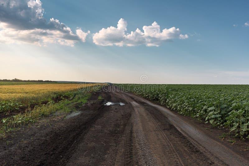 Chemin de terre de pays parmi des champs des tournesols et du blé Tournesol de jeunes de champ Ciel bleu avec les nuages plumeux images stock