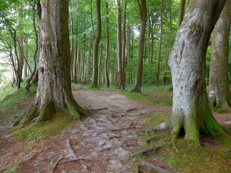 Chemin forestier au printemps avec de grands arbres et feuilles vert clair photographie stock libre de droits
