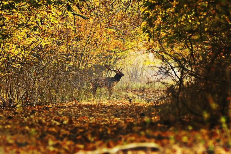 Chemin forestier de croisement de mâle de cerfs communs photos libres de droits