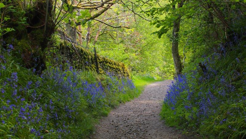 Chemin ? travers le bois de jacinthe des bois en Angleterre image stock