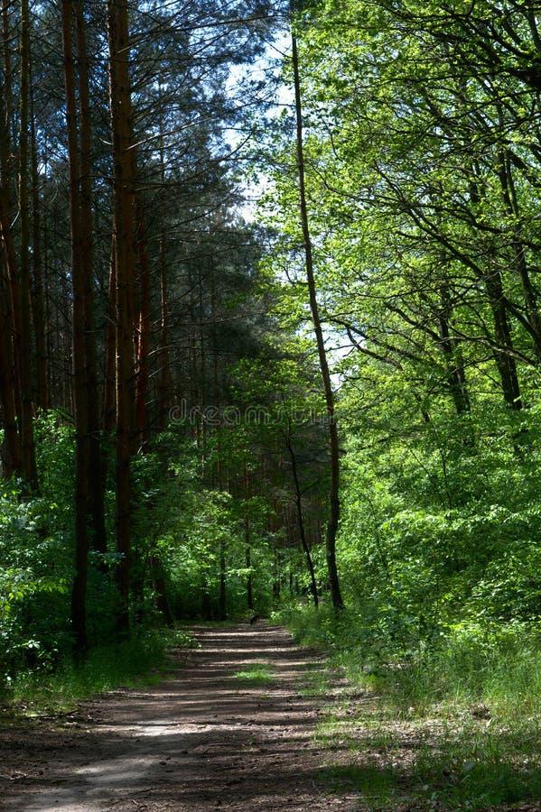 Chemin vide de saleté dans une forêt de pin images libres de droits