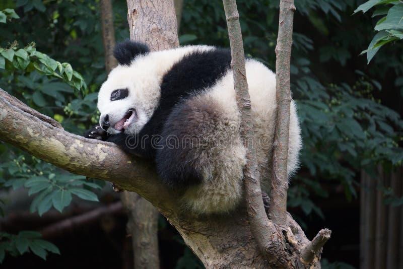 Chengdu forskninggrund av jätten Panda Breeding royaltyfria bilder