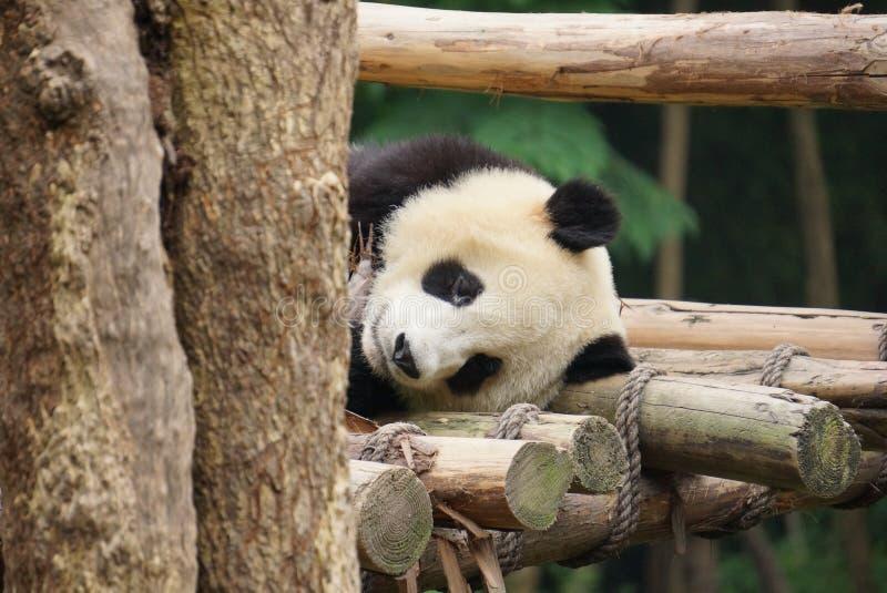 Chengdu Research Base of Giant Panda Breeding. Or simply Chengdu Panda Base, is a non-profit research and breeding facility for giant pandas and other rare royalty free stock image