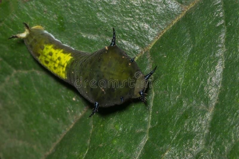 Chenille d'agamemnon de Graphium et x28 ; caterpillar& coupé la queue x29 de geai ; photographie stock libre de droits
