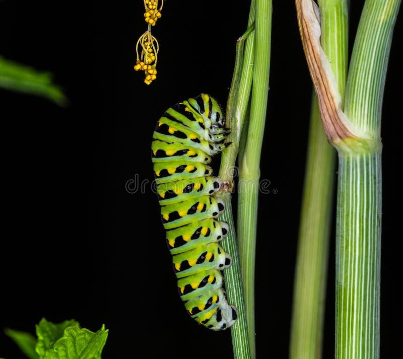 Chenille de papillon de machaon images libres de droits