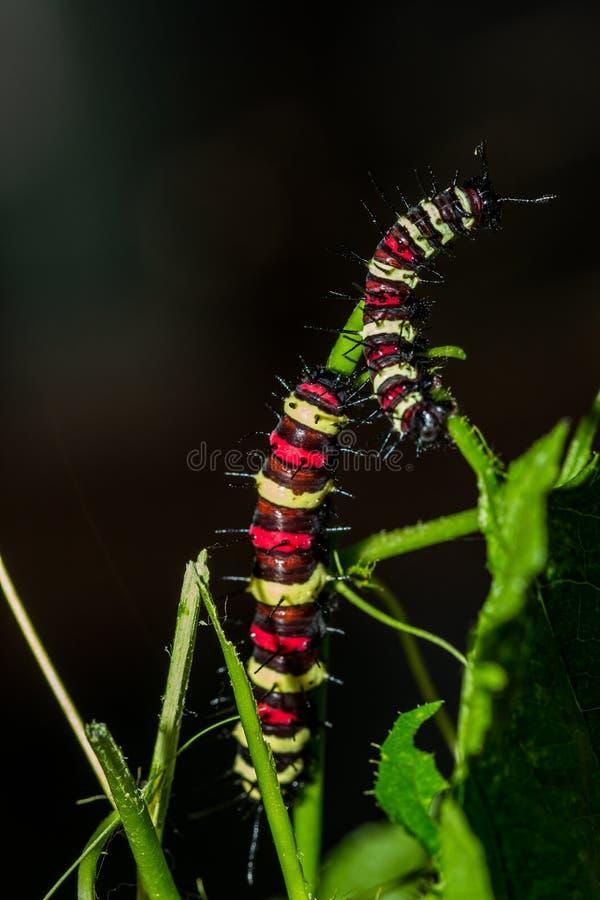Chenille du ` s de cyane de Cethosia, ver de papillon photos libres de droits