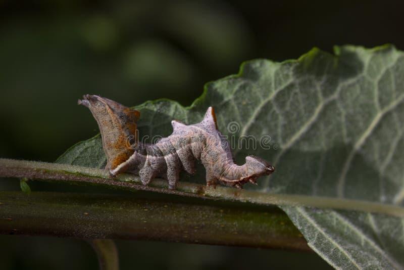 Chenille importante de mite de caillou, ziczac de Notodonta, marchant, mangeant le long d'une feuille de saule pendant juillet photos stock