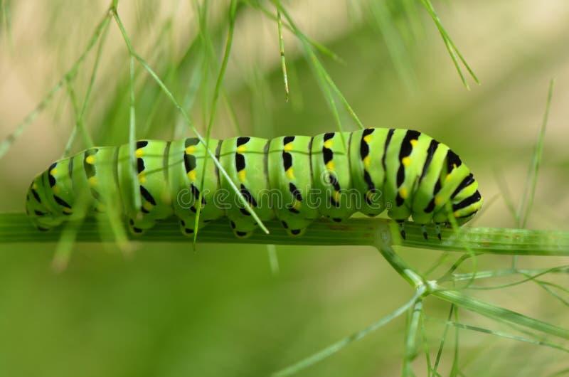 Chenille noire de papillon de machaon photo libre de droits