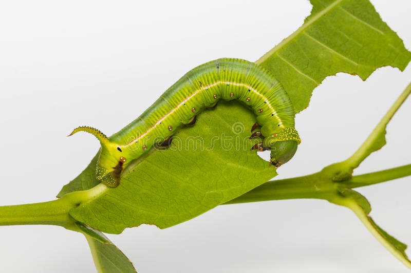 Chenille pellucide de Hawk Moth photo stock