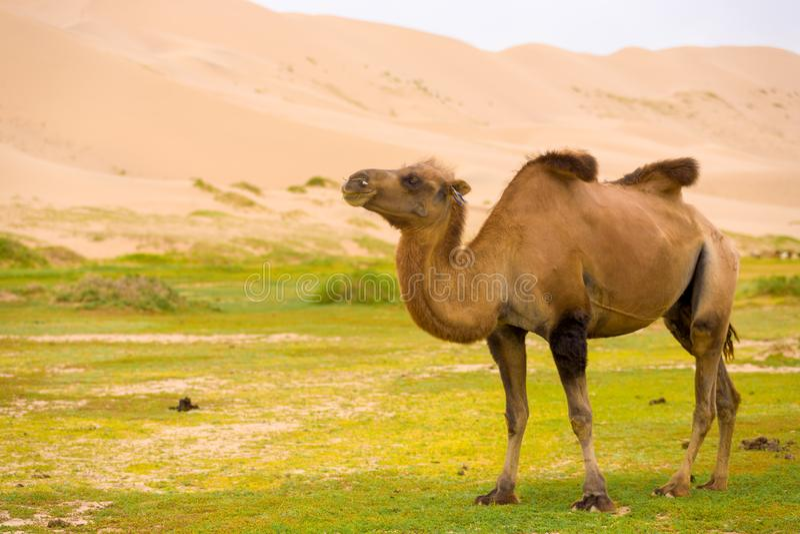 Chepa del camello de Khongor Els Sand Dune Sagging Bactrian fotos de archivo