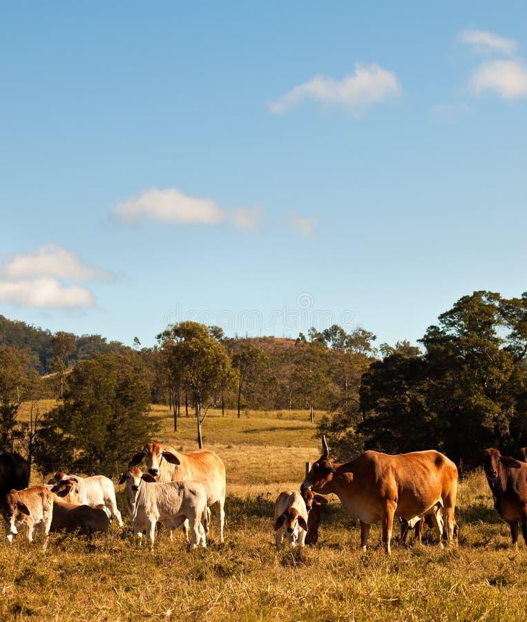 Cheptels bovins australiens photos stock