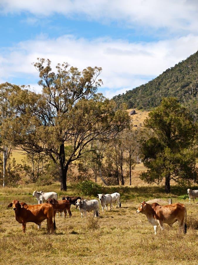 Cheptels bovins ruraux australiens de scène pour la viande photographie stock