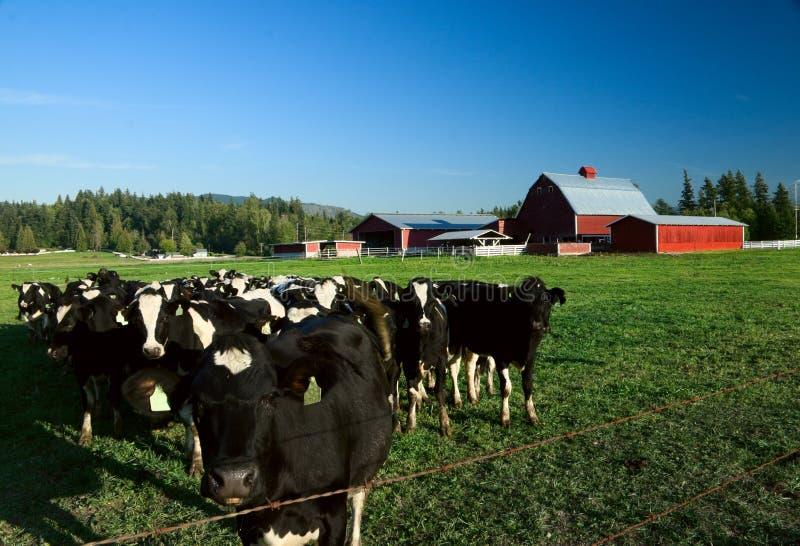 Cheptels laitiers et grange rouge photographie stock libre de droits