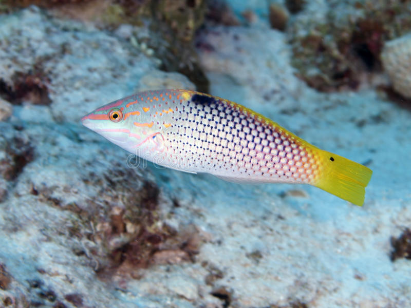 Chequerboard wrasse. In Red sea, Egypt, Hurghada royalty free stock images