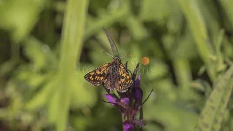 Chequered бабочка шкипера стоковые изображения