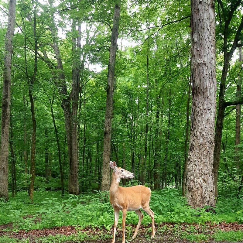 Cher dans les bois photo stock