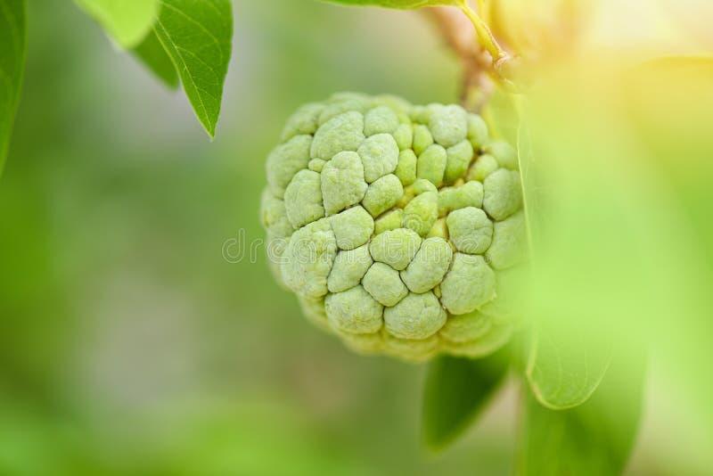 Cherimolia o mela cannella sull'albero nei precedenti di verde della natura della frutta tropicale del giardino - mela cannella d fotografie stock