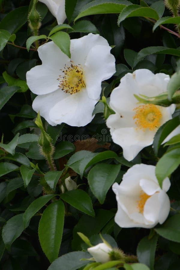Cherokee роза стоковое фото