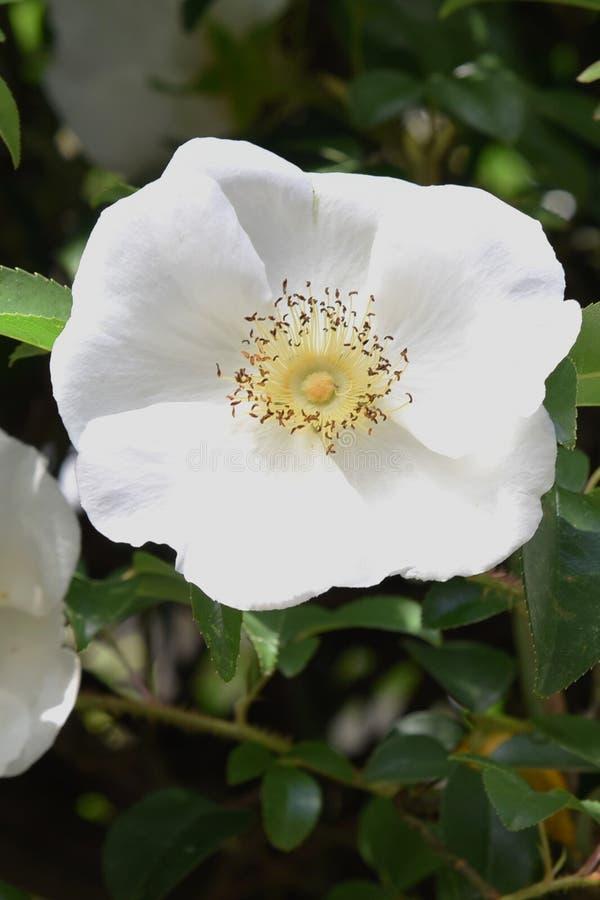 Cherokee rosa blopssoms arkivfoto
