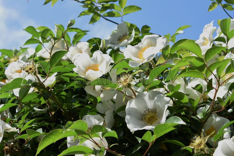 Cherokee rosa blopssoms arkivbild