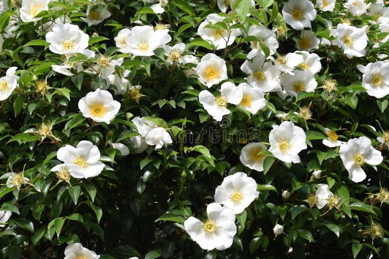 Cherokee rosa blopssoms royaltyfri fotografi