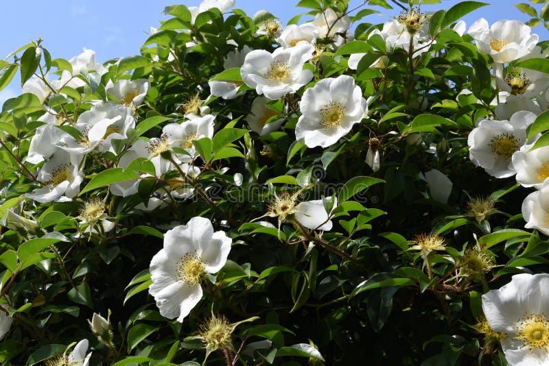 Cherokee rosa blopssoms arkivfoton